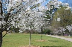 cherry-blossoms-in-blackburn-park-photo-by-rebecca-chase-williams-on-3-24-16