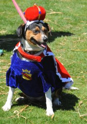 2016 BCBF - Dog Costume Contest happy contestant - photo by Matt Alexandre